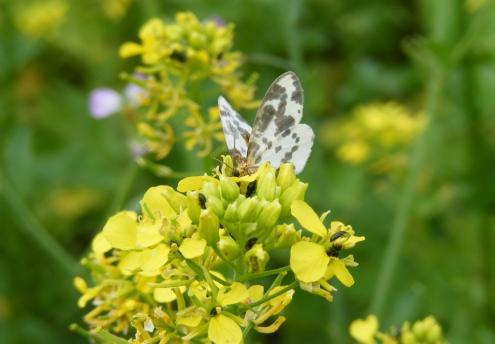 Ein Harlekinfalter (Abraxas sylvata) läßt sich den Nektar des Senf schmecken.