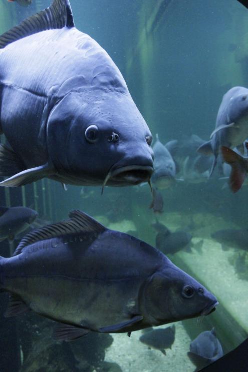 Karpfen im Aquarium des Hauses der Tausend Teiche; Foto: S. Blaß