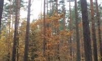 Ziel der 10jährigen Bewirtschaftungsplanung ist die Erhöhung des Laubbaumanteils in kieferndominierten Staatswaldflächen, Foto: Steffen Krausche