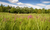 Wilde Gladiolenwiese