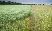 Anbau alter getreidesorten auf dem Modellacker in Wartha (Foto: Steffen Krausche)